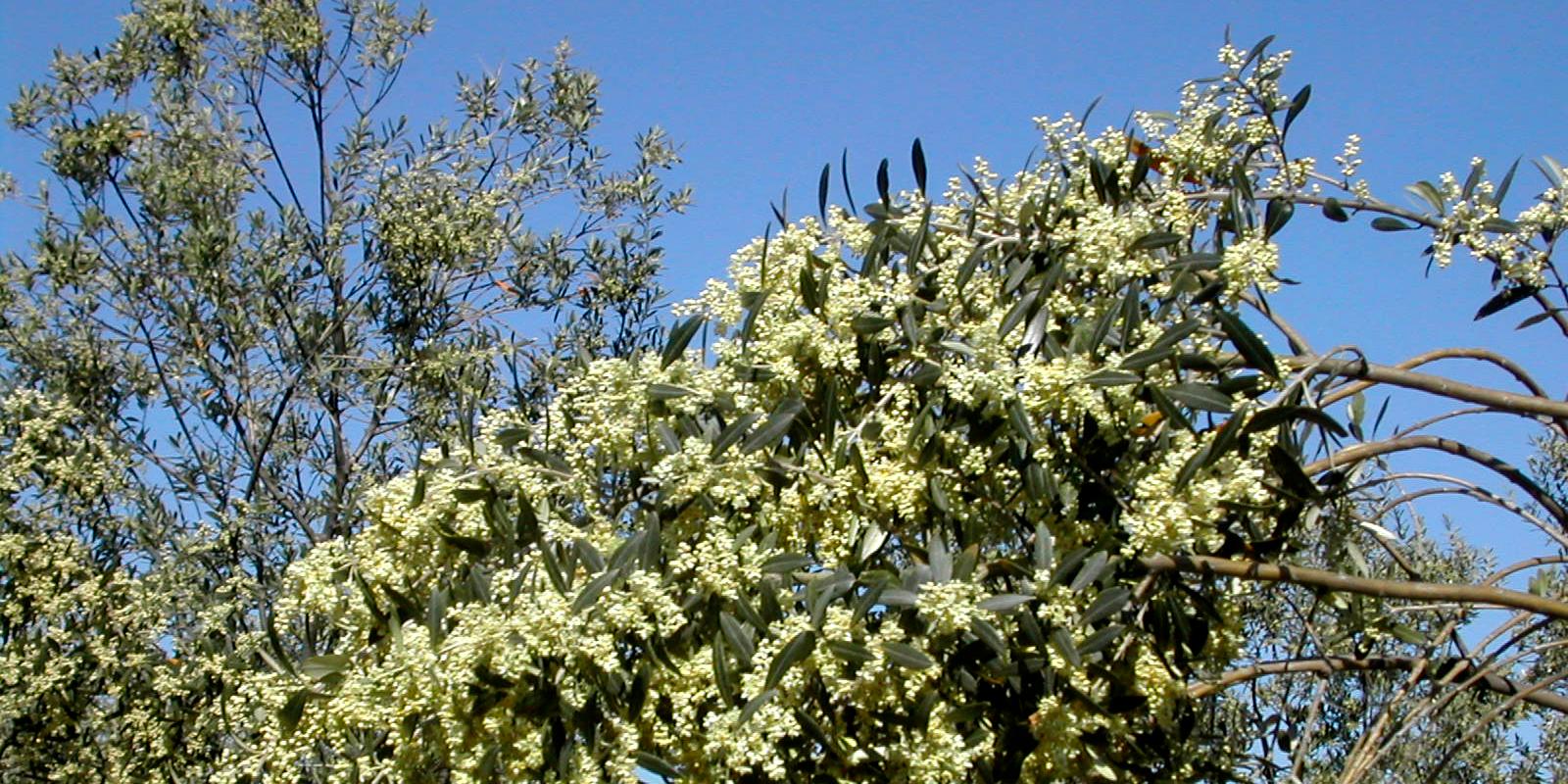 olivi in fiore